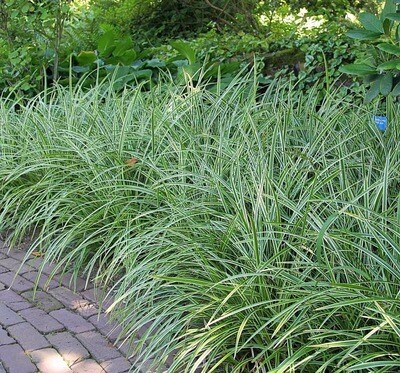 Japanese Sedge Grass 'Ice Dance' - Carex