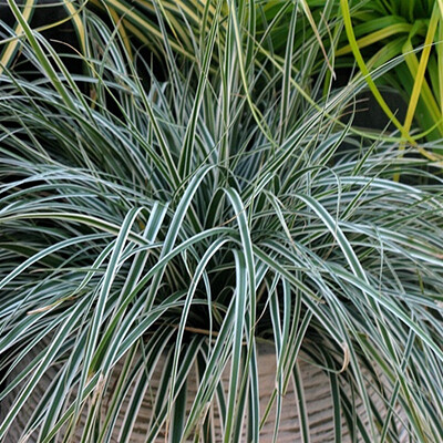 Japanese Sedge 'Silk Tassle' - Carex Morrowii