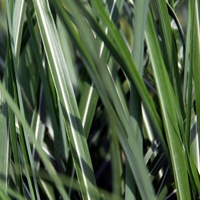 Maiden Grass 'Fat Cat' - Miscanthus