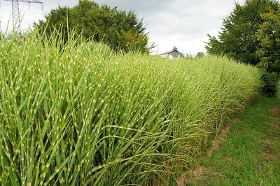 Maiden Grass 'Gold Breeze' - Miscanthus