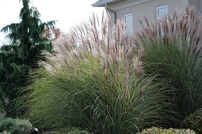 Maiden Grass 'Gracillimus' - Miscanthus