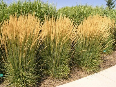 Reed Grass  'Feather Fabulous' - Phragmites