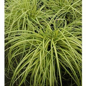 Sedge Grass 'Gold Strike' - Carex
