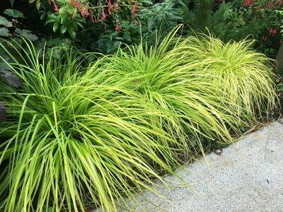 Sedge Grass 'Everillo' - Carex