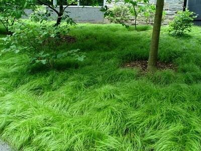 Sedge grass 'Pennsylvania' - Carex