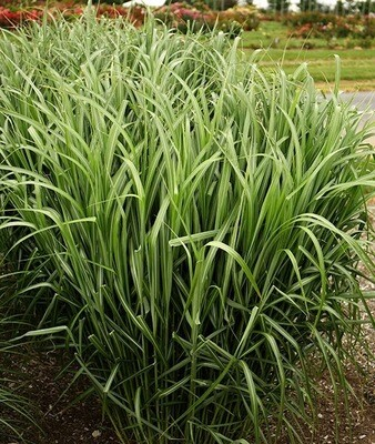 Sterile Maiden Grass 'My Fair Maiden' - Miscanthus