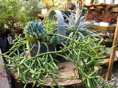 Succulent Planter' Double Heart'