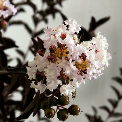 Crape Myrtle 'Moonlight Magic'