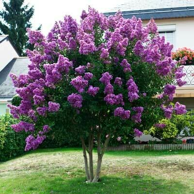 Crape Myrtle 'Purple Magic'