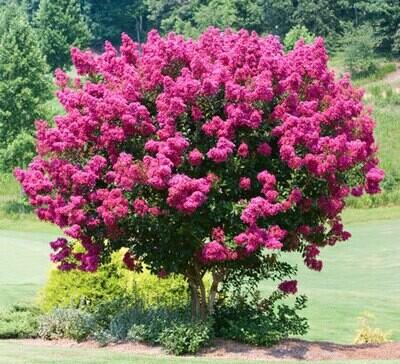 Crape Myrtle 'Pink Velour'