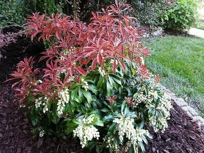 Andromeda 'Red Mill' - Pieris Japonica