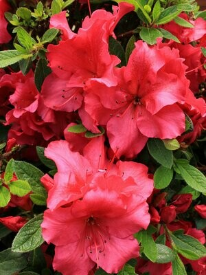 Azalea 'Bloom-a-Thon 'Red''