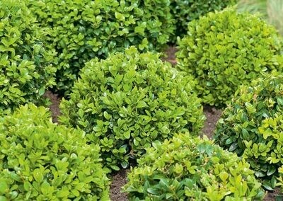 Boxwood 'English' - Buxus Sempervirens