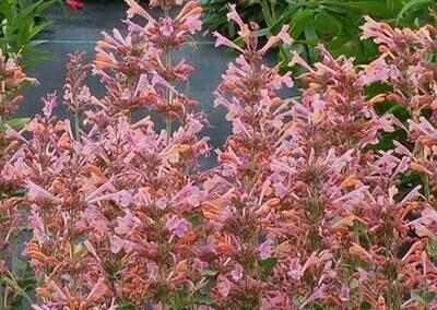 Hummingbird Mint 'Kudos Ambrosia' - Agastache