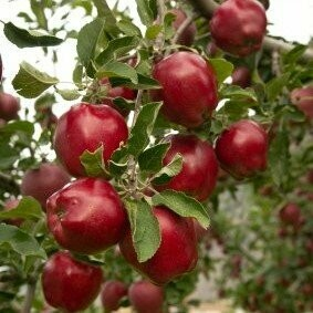 Apple Tree 'Red Delicious'