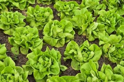 Lettuce 'Buttercrunch Bibb'