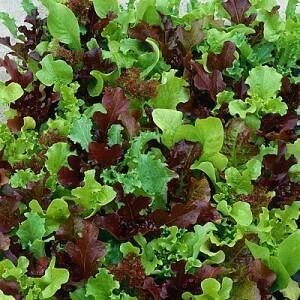 Lettuce 'Wildlife Mix'