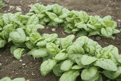 Spinach 'Emperor'