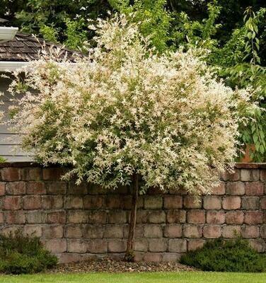 Dappled Willow 'Hakuro-Nishiki' - Salix Integra