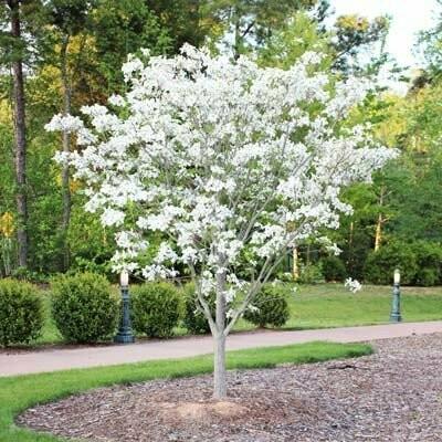 Dogwood 'White Dogwood' - Cornus Florida