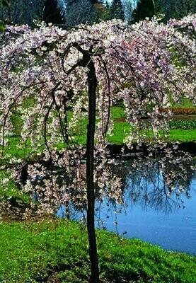 Double Weeping Flowering Cherry - Prunus Subhirtella
