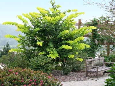 Eastern Redbud 'Hearts of Gold' - Cercis Canadensis