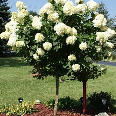 Hydrangea 'Limelight' - Hydrangea Paniculata