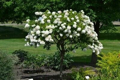 Hydrangea 'Pee Gee' - Hydrangea Paniculata