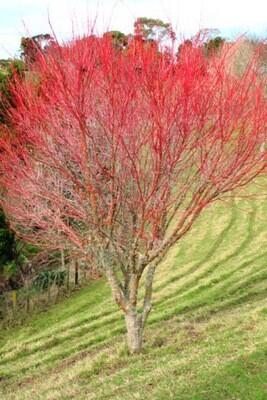 Japanese Maple 'Coral Bark' - Acer Palmatum