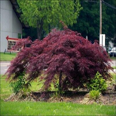 Japanese Maple 'Crimson Queen' - Acer Palmatum