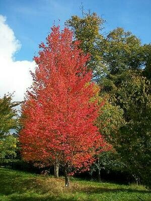Maple 'Red Sunset' - Acer Platanoides