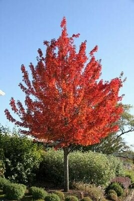 Maple 'Redpointe' - Acer Platanoides