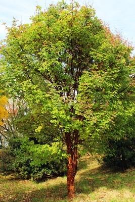 Paperback Maple - Acer Griseum