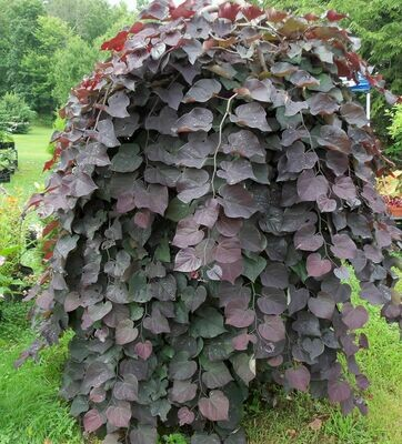 Redbud 'Ruby Falls' - Cercis Canadensis