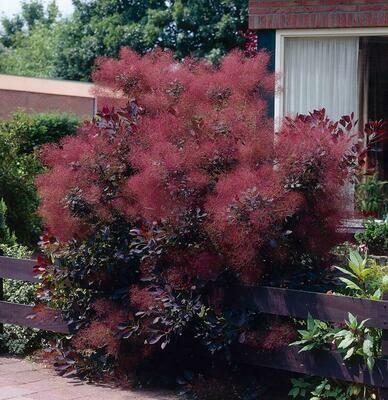 Smoke Tree 'Royal Purple'
