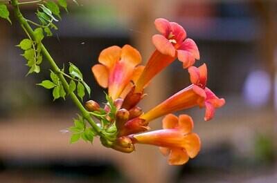 Trumpet Vine 'Orange'