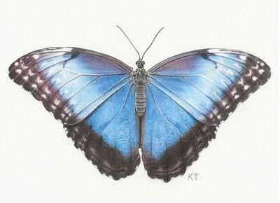 """Blue Morpho Butterfly"" giclee print"