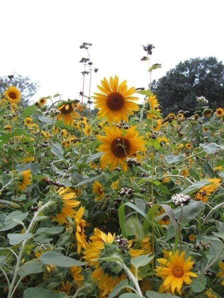 Be Super Sunny this Summer with Striking Sunflower Seeds