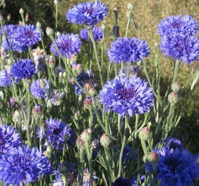 Brilliant Blue Cornflower Annual Summer Garden Flower