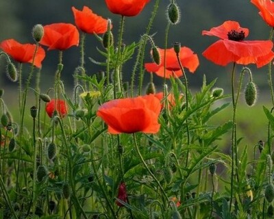 Get Ready for Summer with Red Poppy Flower Seeds ~ 2000 Seeds