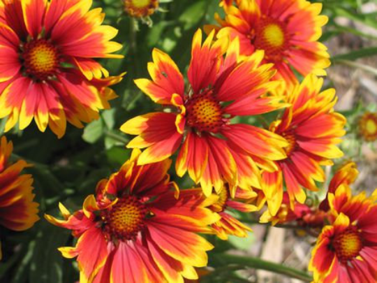 Stay Bright with Indian Blanket Flower Seeds 250 Seeds