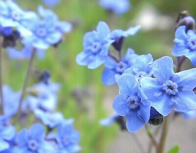 Chinese Forget Me Not Flowers Cynoglossum Amabile 500 Seeds Annual Flowers