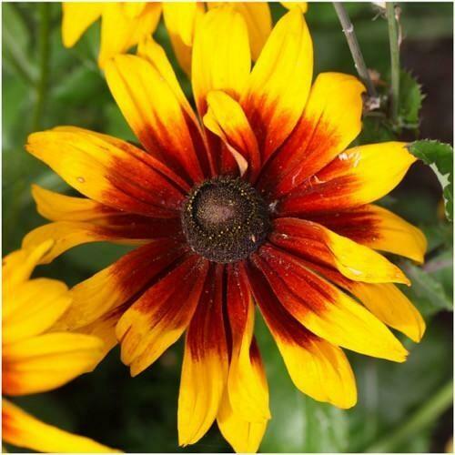 Super Sunny Gloriosa Perennial Flower Daisy Seeds for Summer Blooms 1800 Seeds