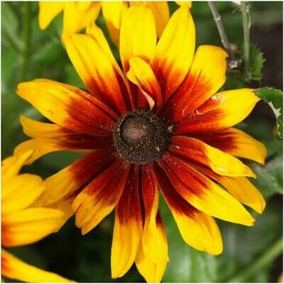 Super Sunny Gloriosa Perennial Flower Daisy Seeds for Summer Blooms 1800 Seeds