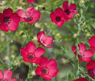 ​Super Easy Grow Summer and Fall Blooming Scarlet Flax Flowers