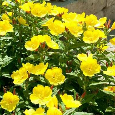Enjoy the Evening with Yellow Primrose Annual/Perennial Flower Garden Seeds 1500 Seeds