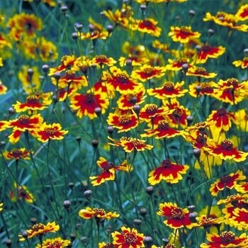 Pretty Plains Summertime Coreopsis Annual Flower Seeds