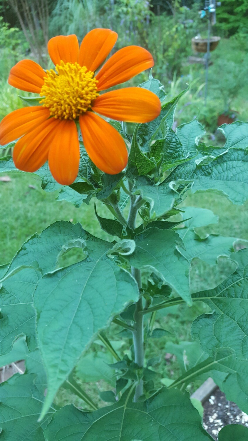 Sunny Red-Orange Mexican Sunflower Seeds