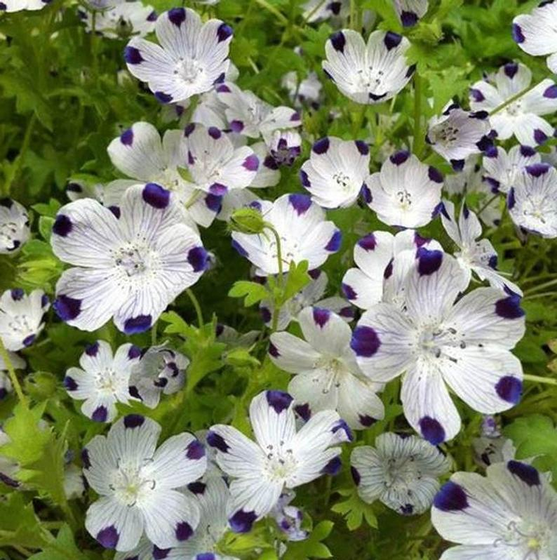 Fabulous Five Spot Annual Flower Garden Seeds 300 Seeds