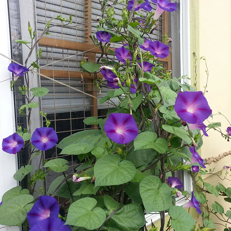 Grandpa Ott's Purple Morning Glory Flowering Vine Garden Seed  300 Seeds